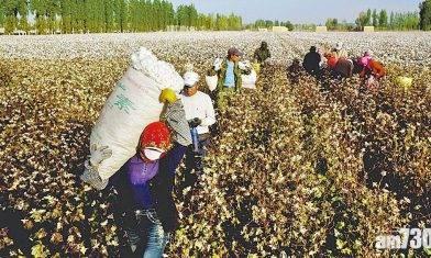 美國將宣布禁入口新疆棉花等產品 指涉強迫勞工生產
