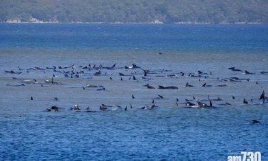 【待救】70多條鯨魚在塔斯曼尼亞擱淺 恐救援不樂觀