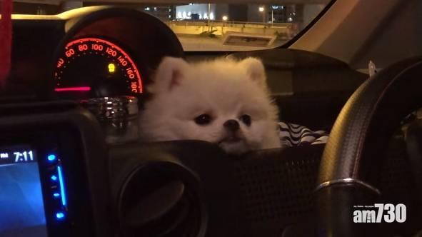 【毛孩天地】松鼠狗坐車頭瞌眼瞓 網民大讚可愛:咩車款?!