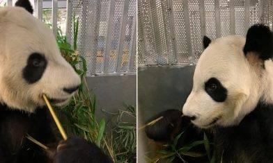 【唔夠竹食】兩隻旅加大熊貓搭專機返抵中國