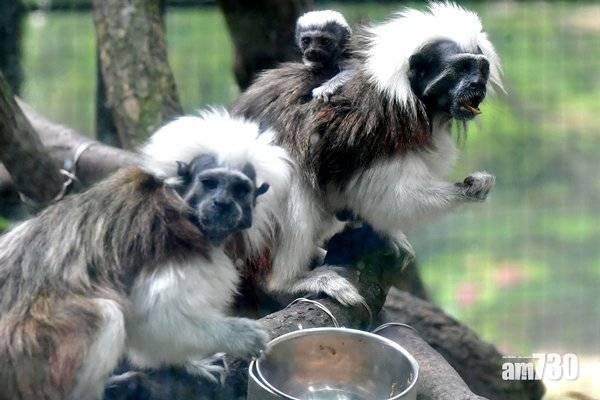 動植物公園疫下缺遊人 飼養員製作玩具保持猴猿活躍