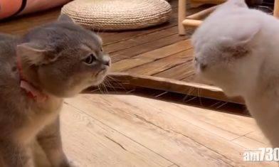 毛孩天地 可愛貓主子「互罵」 網民:可愛到爆