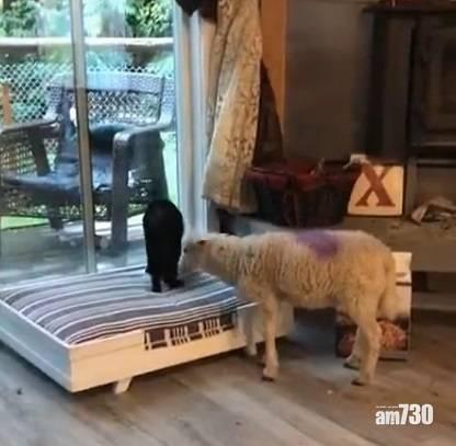 網上熱話 咩咩羊頭頂腳踢黑貓 網民︰貓善被羊欺