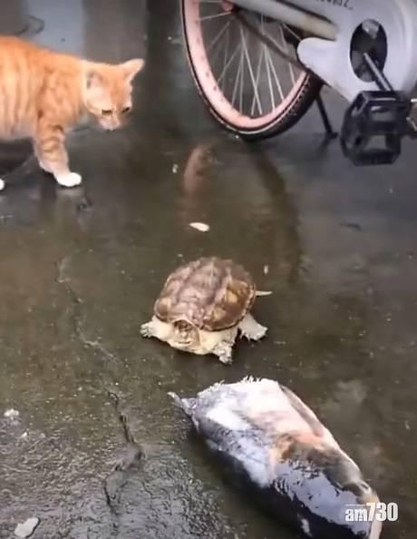 網上熱話│黃貓與龜龜同享肥魚 網民︰到最後才知誰是老大