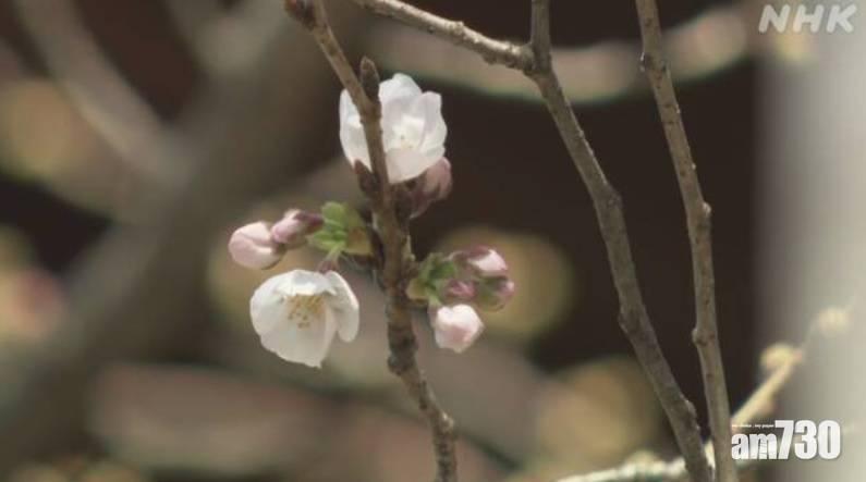 賞櫻季節|東京染井吉野櫻早12日開花 平去年最早開花紀錄