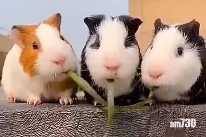 網上熱話 3天竺鼠食兩條草 網民︰結局出人意表