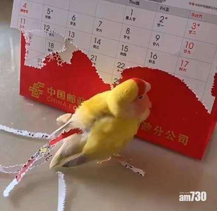 網上熱話|小鸚鵡咬紙條插尾部 網民︰鳥都知愛美