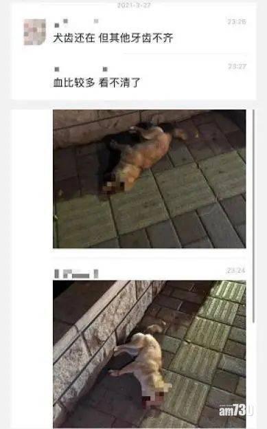 監生拔牙|廣州受虐小柴犬尋獲 暫無大礙