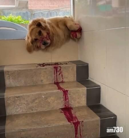 網上熱話|狗狗倒臥樓梯「血流成河」 網民︰太殘忍了……對個火龍果