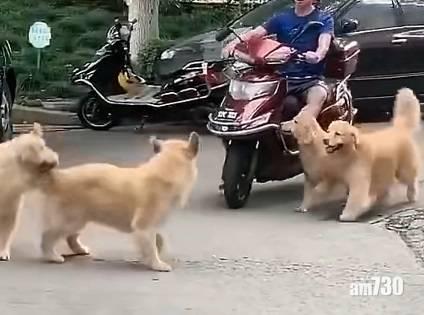 網上熱話|4頭金毛擠上電單車 網民︰好像看印度電單車表演