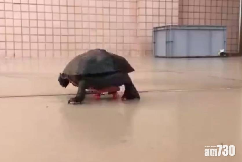 網上熱話|龜龜玩滑板 網民︰真正的極速傳說