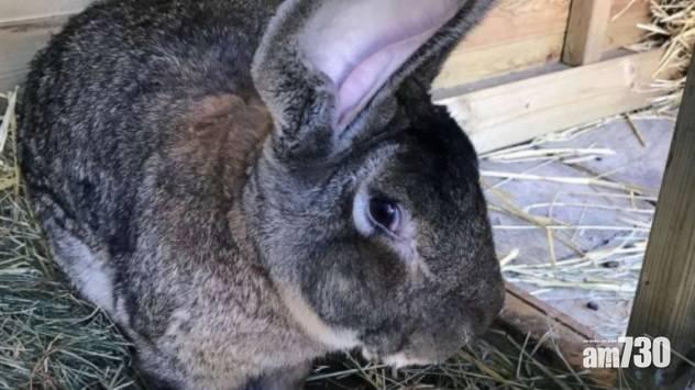 健力士 全球最巨兔家中遭擄 主人懇求「把他帶回來」