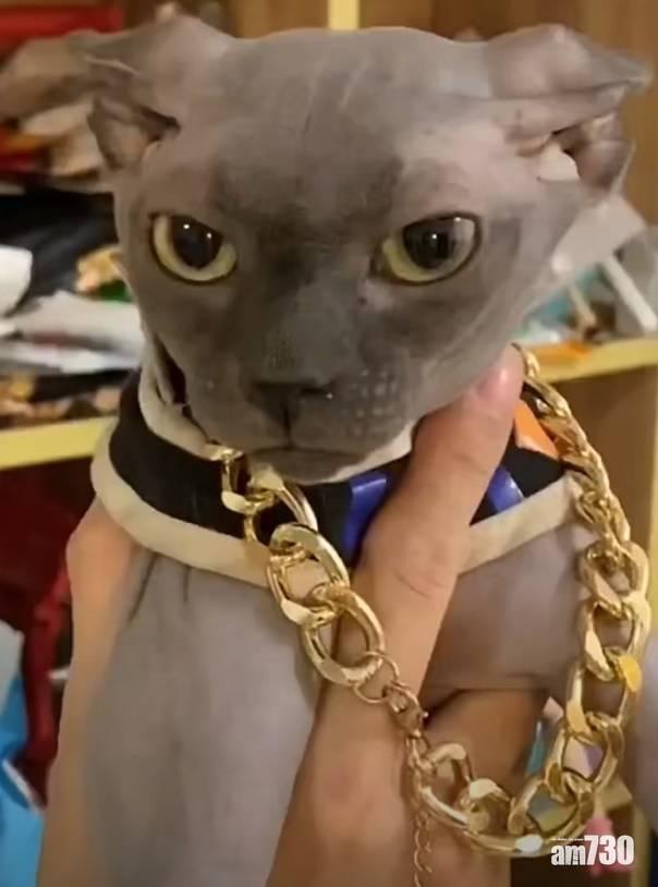 網上熱話|走失貓咪似破壞神比魯斯    網民︰主人會否是悟空造型