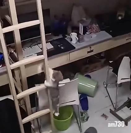 網上熱話|貓咪上格床爬鐵梯落地 網民︰可加入體操隊了