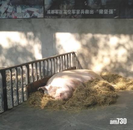 傳奇豬豬 年屆人類百歲 「豬堅強」已入彌留