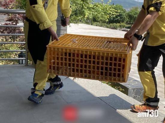 猛獸逃脫|3金錢豹上月中已走甩 在逃1隻用90隻雞誘捕