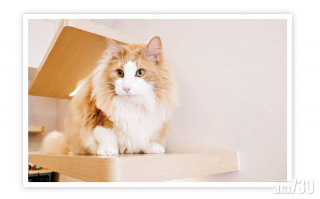 【住得好】主子大過天 貓奴夫婦100萬打造日系貓咪樂園