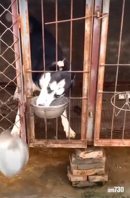 網上熱話|雪橇狗連兜偷金毛犬狗糧  網民︰肯定是慣犯