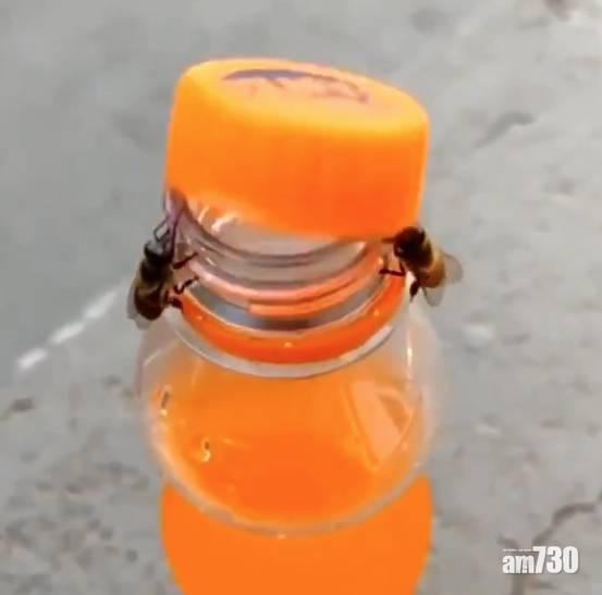 彰顯團隊精神 兩隻蜜蜂合力推開汽水樽蓋 (有片)