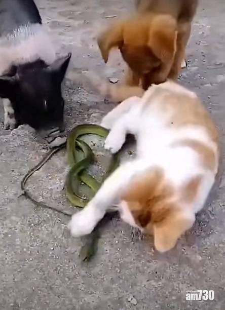 網上熱話|花貓遭青蛇纏頸遭「拯救」同伴咬尾巴  網民︰豬朋狗友最信不過