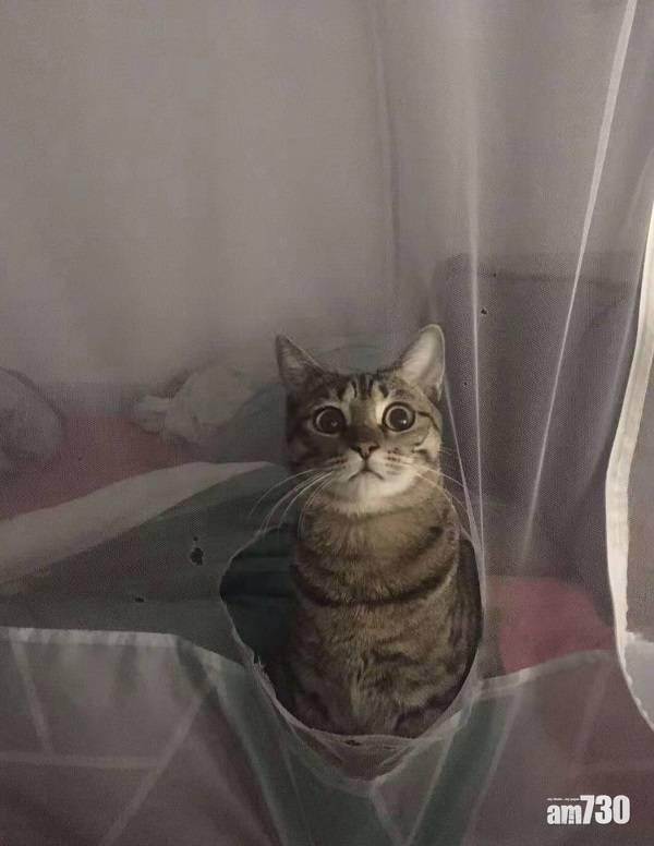 網上熱話|貓咪穿「帳」而出   網民︰貓咪與蚊帳不能共存