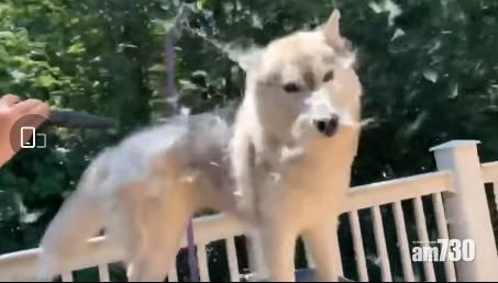 網上熱話|狗狗換毛期 網民︰看著也鼻感敏發作