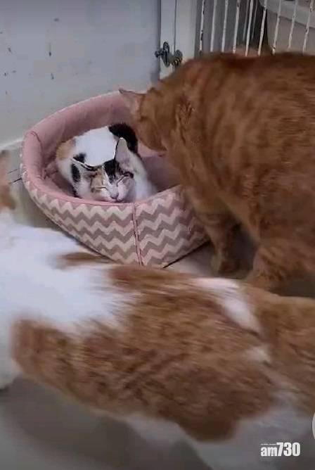 網上熱話|肥貓強佔花貓窩   網民︰貓界「鵲巢鳩佔」