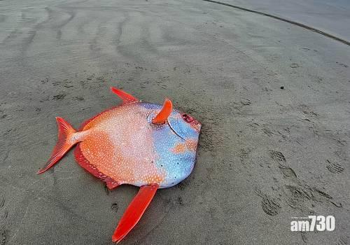 氣候變化|100磅巨型眼眶魚現俄勒岡海灘  專家:或與氣候變化有關