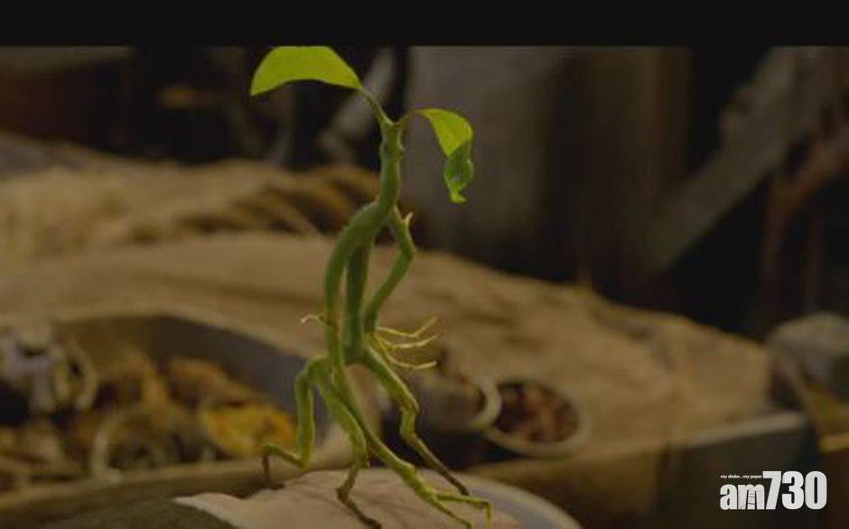 網上熱話 竹節蟲搭順風車     網民︰確定這不是卡通片嗎?