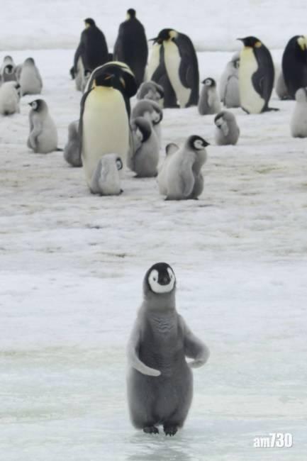 全球暖化 研究:若海冰持續融化  到2100年南極皇帝企鵝恐瀕臨滅絕