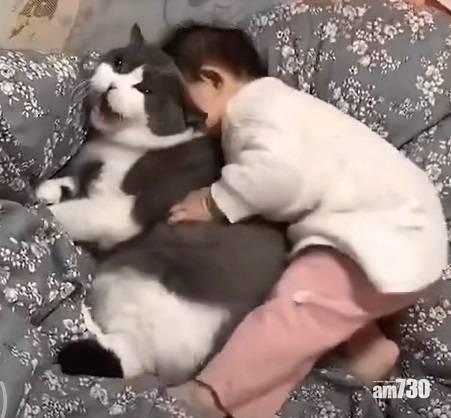 網上熱話 貓咪主子被小奴才扯耳按頭   網民︰貓咪天天被欺負,才沒脾氣?