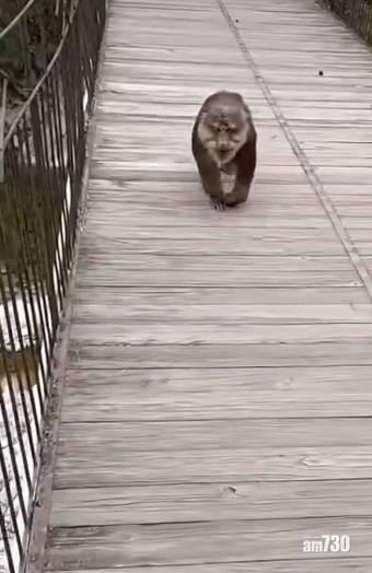 網上熱話|猴子搶走遊客包包   網民︰兩個大男人不敵美猴王