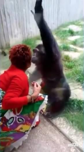 另類人獸戀 隔住玻璃錫錫  比利時女子與黑猩猩「談戀愛」遭動物園禁足